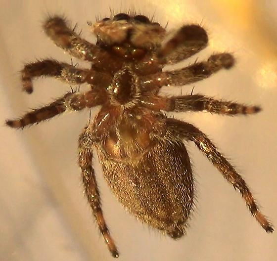 Striped Jumping Spider - Platycryptus californicus - female