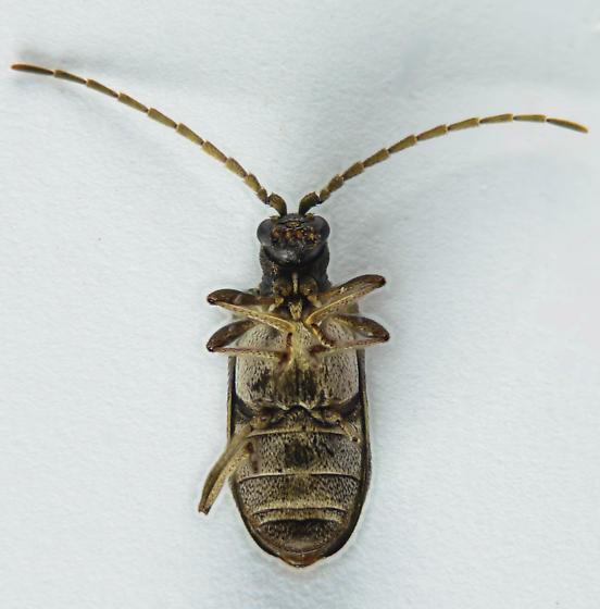 Ptinid? - Ptinus sexpunctatus