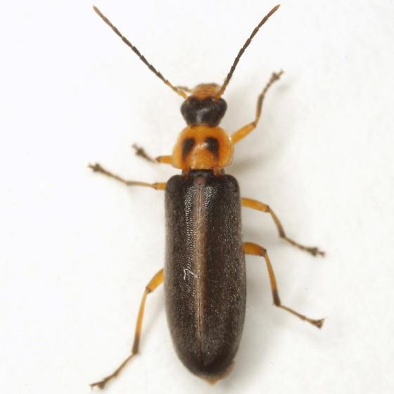 Osphya varians (LeConte) - Osphya varians - female