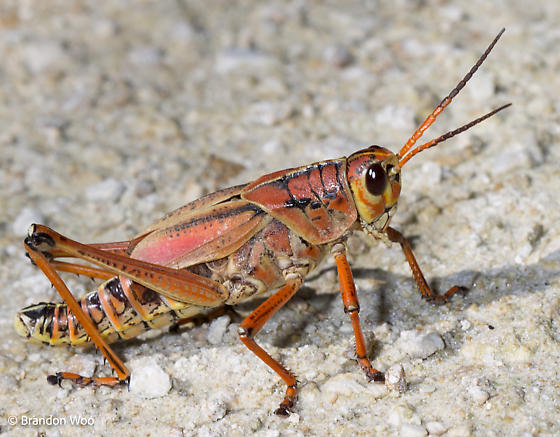 Romalea microptera - male