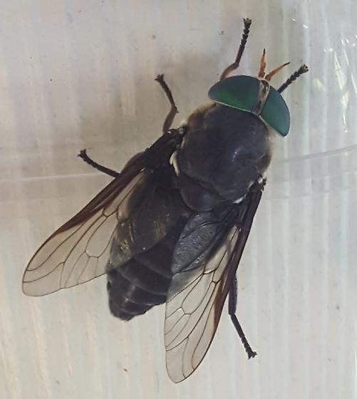 Large Fly - Tabanus americanus