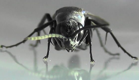 Blue Streaks (face) - Psorthaspis planata - male