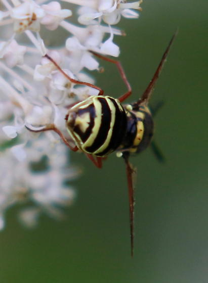 Fly on Ceanothus americanus - Hoplitimyia constans