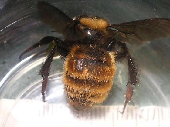 Bombus appositus (Apidae) in  Lake George, CO. - Bombus appositus - female