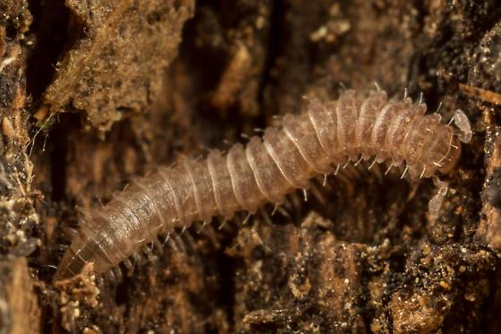 Millipede - Rhiscosomides