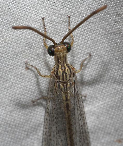 Brachynemurus hubbardii Antlion - Brachynemurus hubbardii - male
