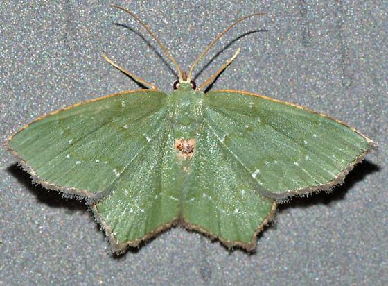 ? - Chloropteryx tepperaria - female