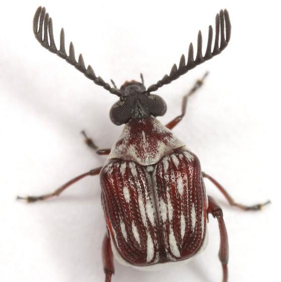 Megacerus leucospilus (Sharp) - Megacerus leucospilus