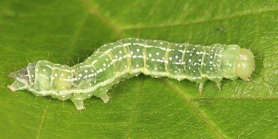 caterpillar on birch - Lithophane innominata