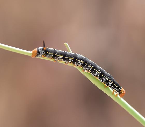 Copyright   169  2015 lonnynaturalistHyles Lineata Caterpillar