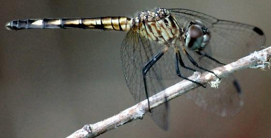 Spot-tailed Dasher - Micrathyria aequalis - female