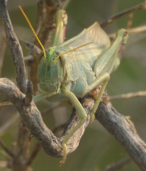 Green grasshopper - Schistocerca lineata - female