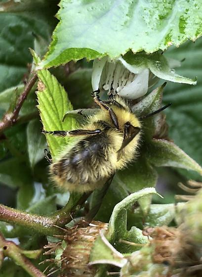 Valley Carpenter Bee (Xylocopa sonorina)? - Bombus