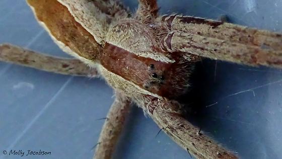 Pisaurina mira - female
