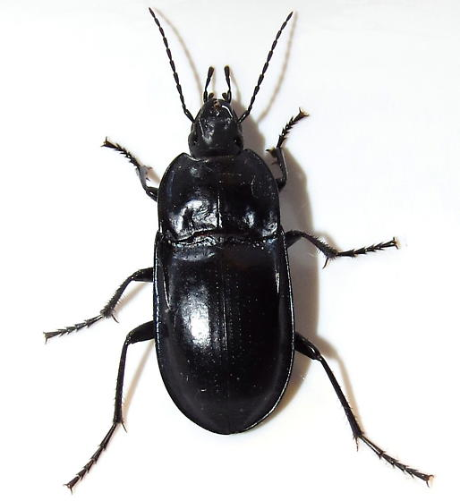 Notched-mouth ground beetle - Dicaelus laevipennis