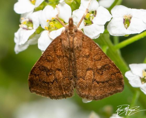 Moth - (Udea profundalis??) - Udea profundalis