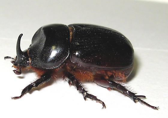 Dynastes tityus, I think - Xyloryctes jamaicensis - male