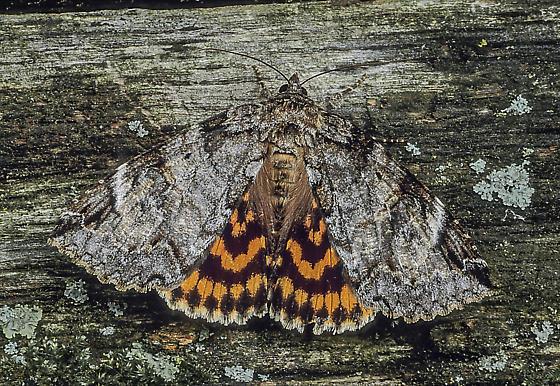 Euparthenos nubilis - female