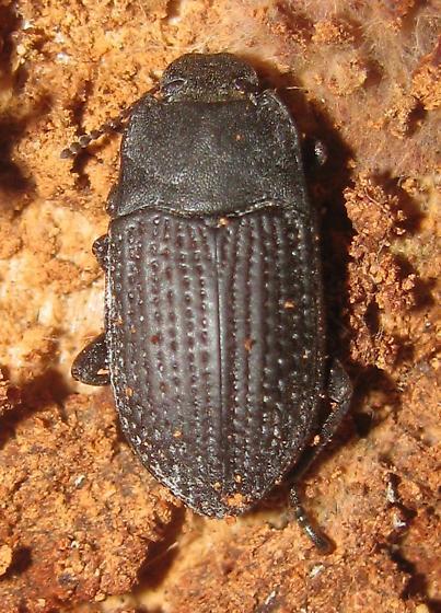 Darkling beetle - Alaetrinus minimus