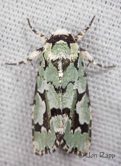 Moth - Emarginea dulcinea