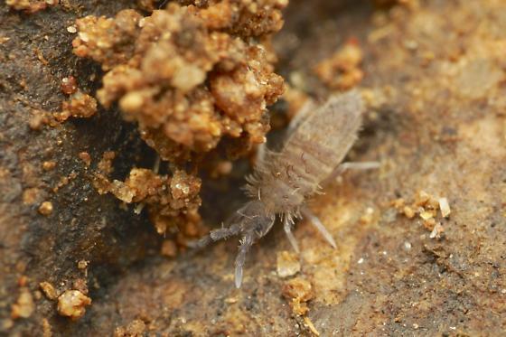 Entomobryomorpha springtail - Entomobrya