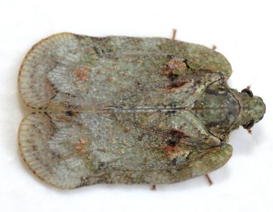 Flatoidinus signatus - Flataloides scabrosus