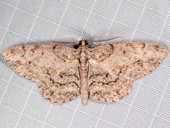 Porcelain Gray - Protoboarmia porcelaria - male