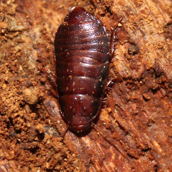 Blattodea - Cryptocercus wrighti