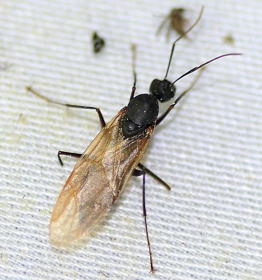 Carpenter Ant ( Queen) ? - Camponotus - BugGuide.Net