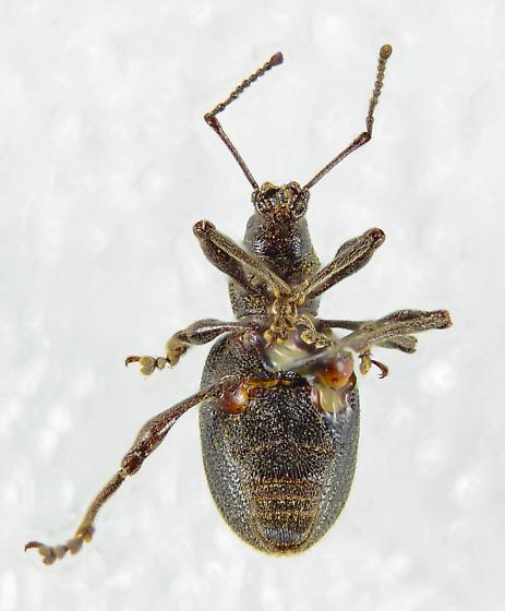 Entiminae? - Otiorhynchus meridionalis