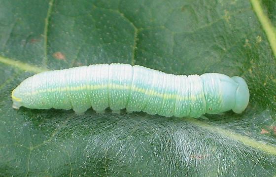 Green Oak Caterpillar - Nadata gibbosa