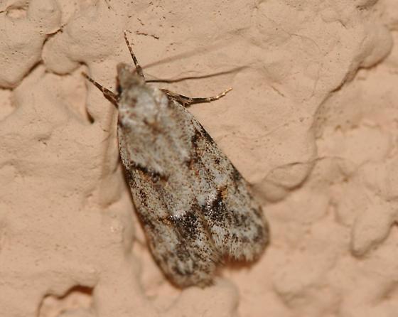 Moth ID 4 - Symmoca signatella