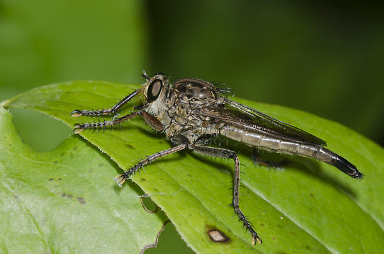 Robber Fly - Proctacanthella