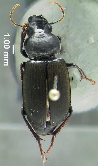 Carabid beetle - Harpalus
