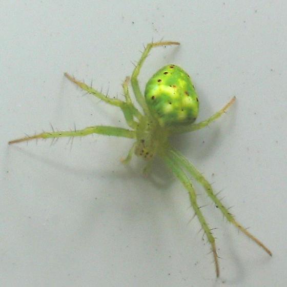 bright green spider - Araneus cingulatus
