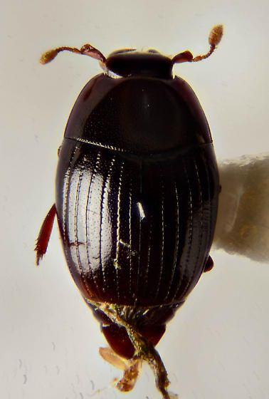 Another small Histerid - Epierus