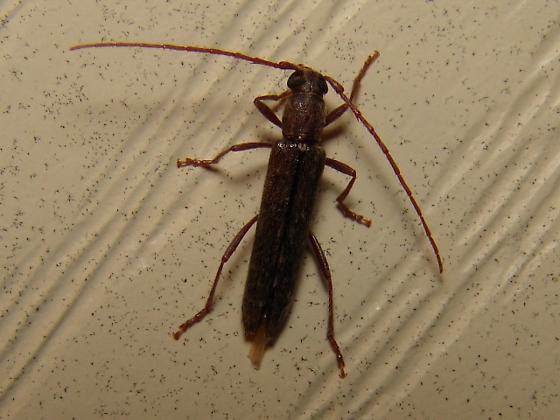 Quandry - Anelaphus parallelus - male