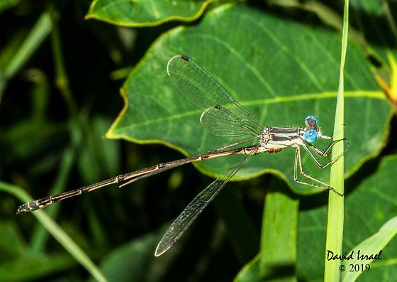 Damselfly with mites