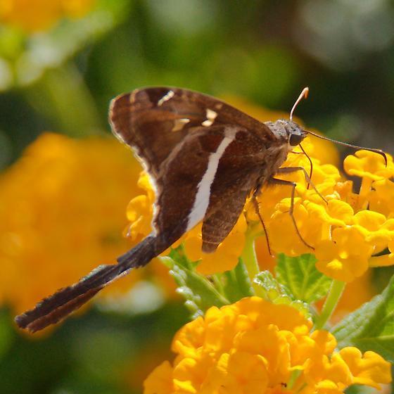 Long tailed skipper - Chioides albofasciatus