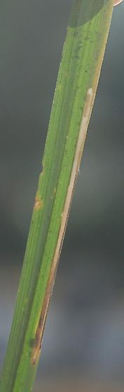 Johnston Mill Nature Preserve leaf miner on Carex D886 2017 3 - Cosmopterix
