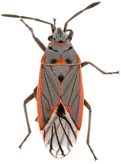Melacoryphus nigrinervis? - Melacoryphus nigrinervis