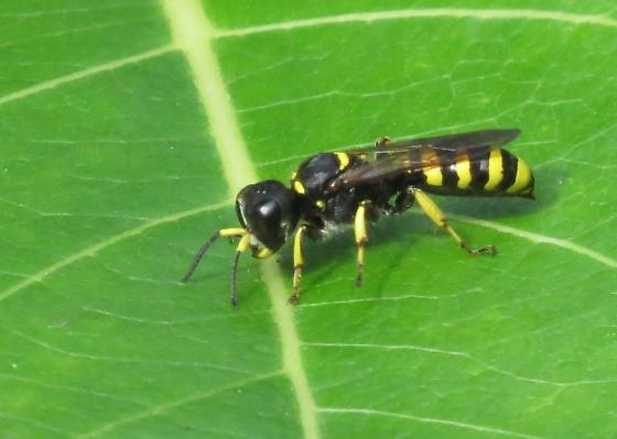 Square-headed wasp - Ectemnius cephalotes - female