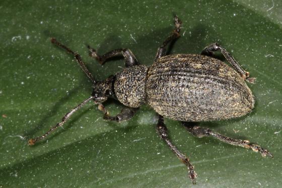 Weevil  - Otiorhynchus ligustici