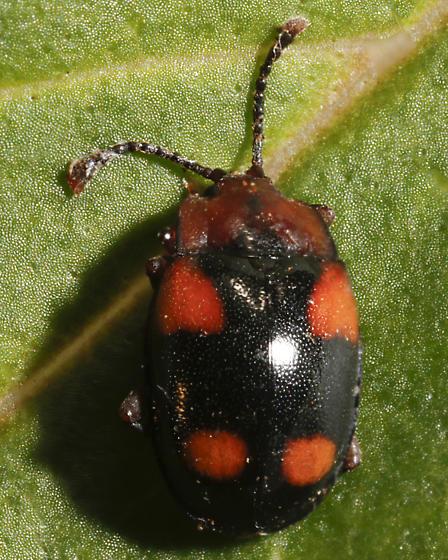 Think this is Mycetina sp - Mycetina idahoensis