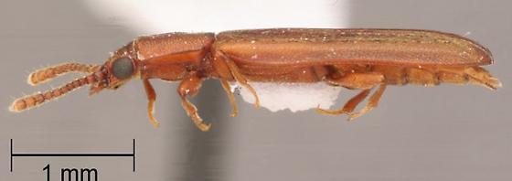 Pediacus ommatodon Thomas --paratype - Pediacus ommatodon