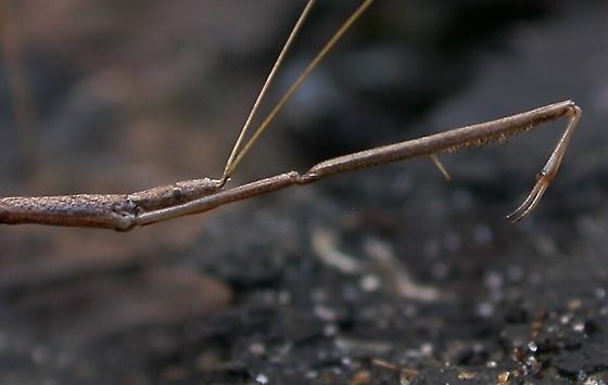 Bug - Ghinallelia productilis