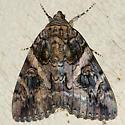 The Penitent Underwing Moth - Hodges #8771 - Catocala piatrix