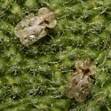 Chrysanthemum Lace Bug - Corythucha marmorata