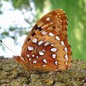 Speyeria cybele - male
