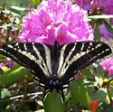 Tiger Swallowtail - Papilio eurymedon